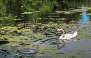 2015 Wildlife Swan Lake-