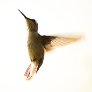 Abstract_Hummingbird