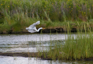 Flying Egret-9281